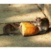 Чим харчуються щури?