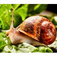 Безпечний спосіб захистити рослини від равликів